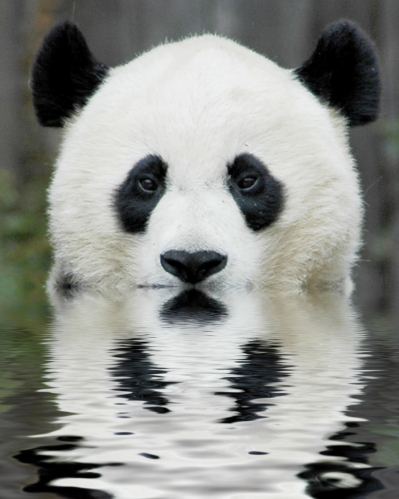 Why Are Pandas Endangered | Top Four Reasons