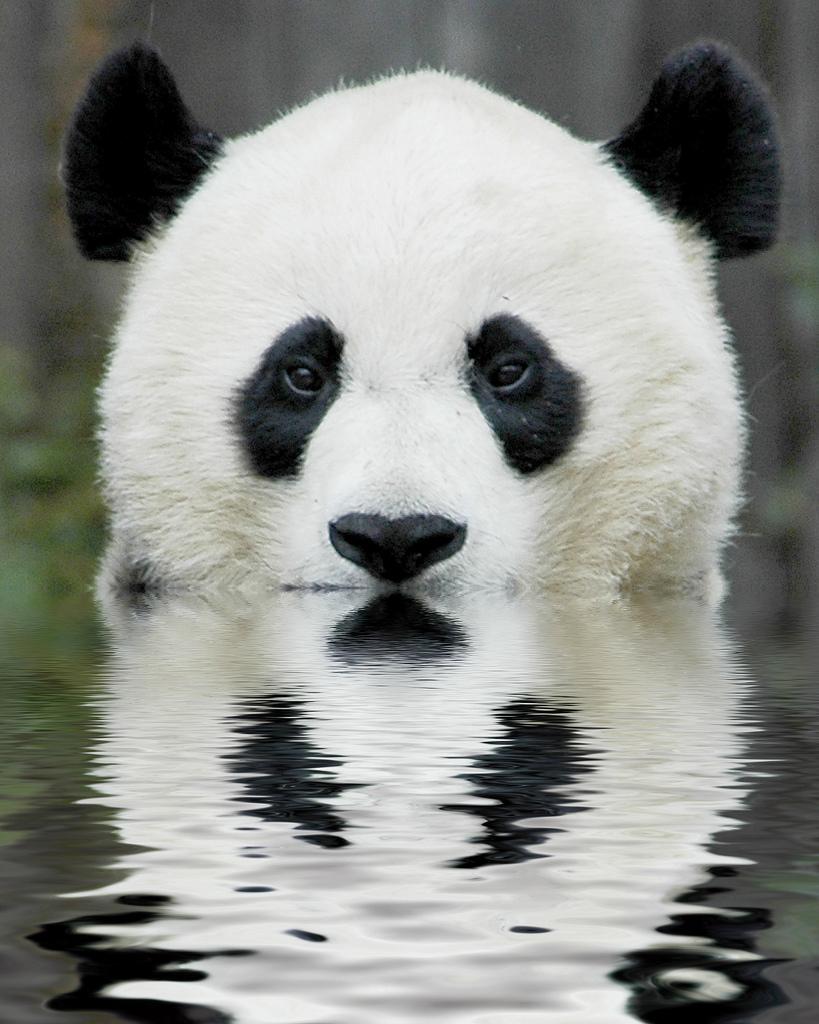 Interesting Facts about Panda Bears