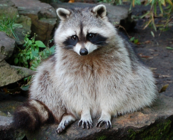 OMG IS SO FLUFFY Animal-picture-raccoon-wen-flickr-animalpicture