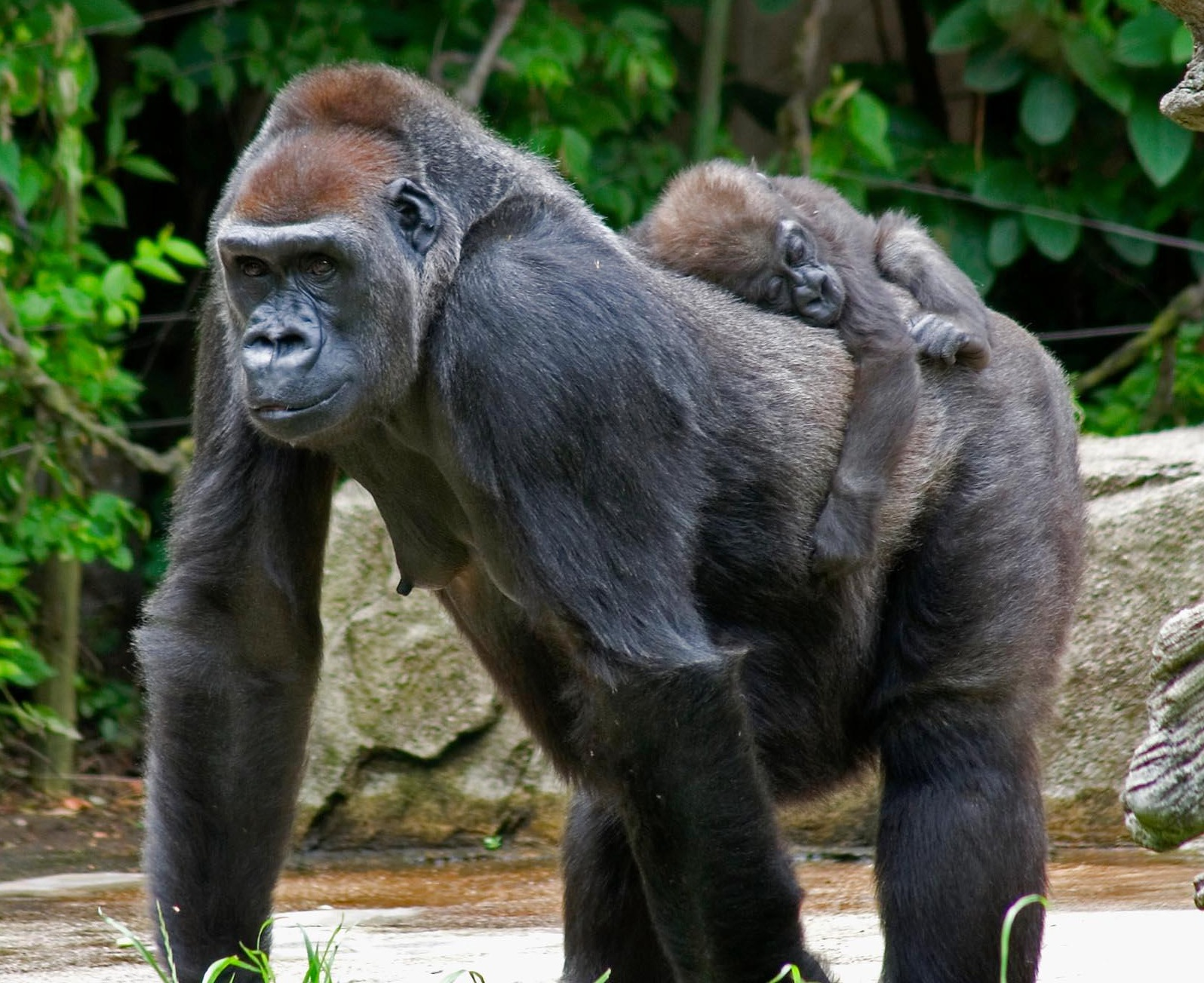 Interesting Facts About Gorillas For Kids